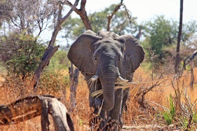 elefante caminhando
