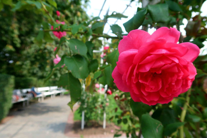 roseiral em petrin
