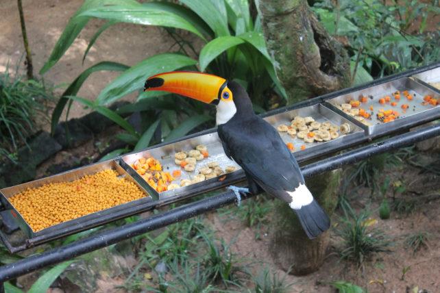 tucano no parque das aves em foz do iguaçu