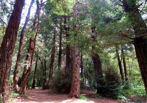redwoods no golden gate park