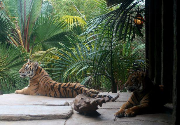 tigres no safari park
