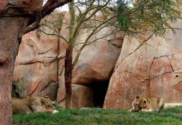 leões no safari park