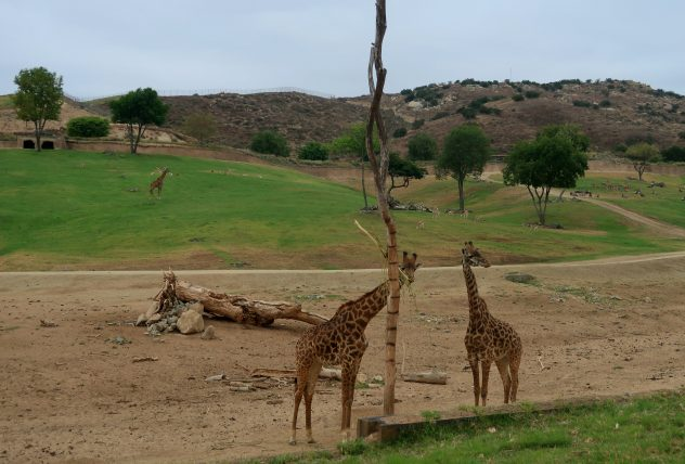 girafas no safari park