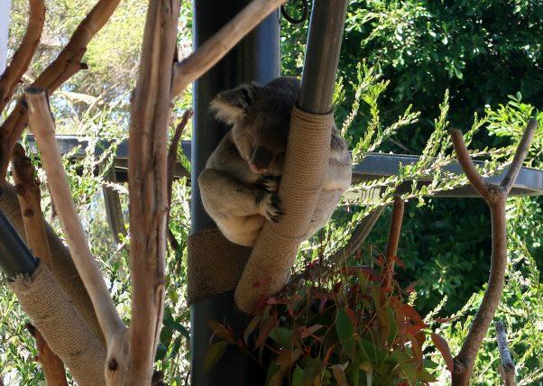 coala no zoológico de san diego