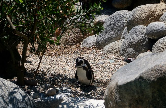 pinguim no zoológico de san diego