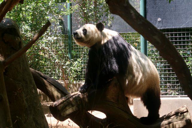 panda no zoológico de san diego