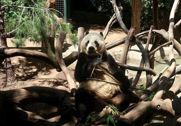 panda comendo no zoológico de san diego