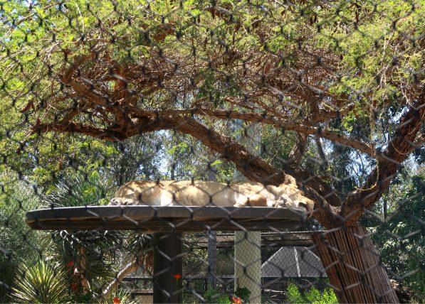 leoa no zoológico de san diego