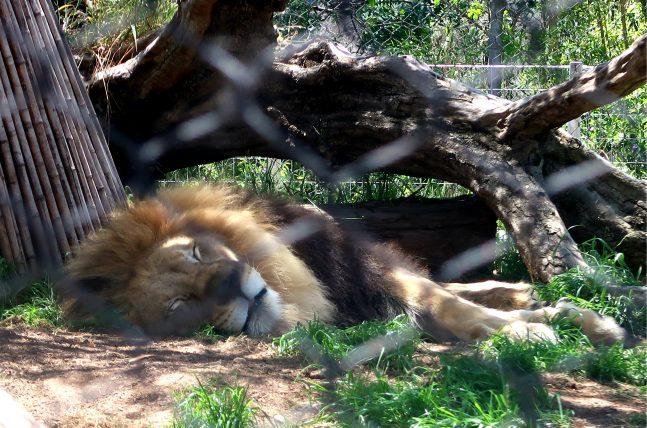 leão nozoológico de san diego