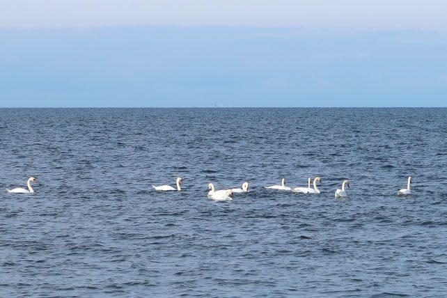 cisnes nadando no mar báltico
