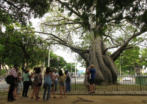baobá na praça da república, no recife. foto de Emanoel Correia