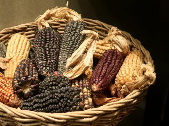 diferentes variedades de milho representadas no museu de antropologia do méxico