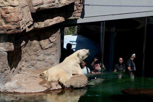urso polar em zoológico