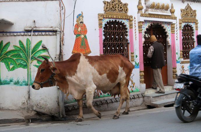 vaca na rua na índia